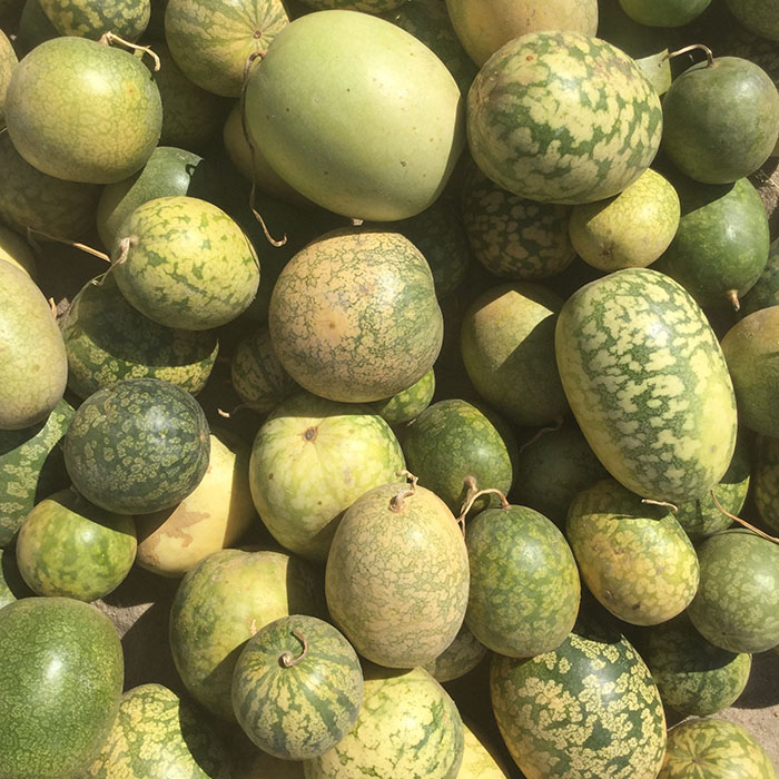 Kalahari Melone