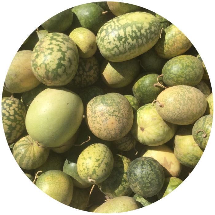 Kalahari Melone – Schatz der Kalahari Wüste